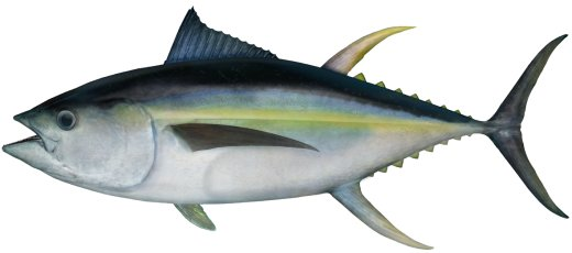yellowfin tuna sustainable